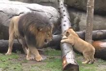 पहली बार पिता से मिले शेर के बच्चे, Video में देखें कैसे जाहिर की खुशी