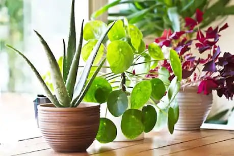 These plants purify the air inside the house.