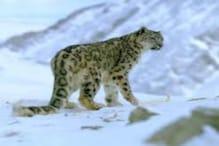केदारघाटी में मिले Snow Leopard की मौजूदगी के निशान