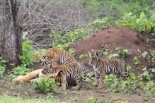 पन्ना टाइगर रिजर्व में बाघिन ने दिया 4 शावकों को जन्म, देखें Video