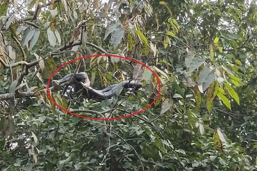बिहार के बगहा में पेड़ पर टिका सांपो का जोड़