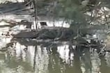 नवी मुंबई के नाले में कई सालों से भटक रहा था मगरमच्छ, वन विभाग ने निकाला बाहर