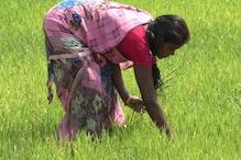 कोरबा में हो रही है रेड राइस की खेती, किसानों को अच्छी कमाई की उम्मीद