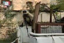 बंदरों से बचने के लिए छत पर बांधा लंगूर, वन विभाग ने डाली रेड तो मचा हड़कंप