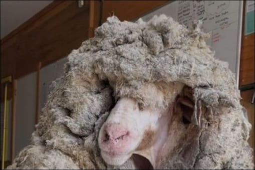 VIDEO: ऑस्ट्रेलिया के जंगल से बचाई गई भेड़ से निकली 35 किलो ऊन, हैरान रह  गए विशेषज्ञ