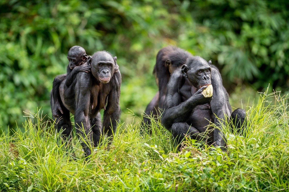 Chimpanzees, Evolution, Subspecies, Species, Evolution of organisms, Genetic Connection, MPI-EVA, Genetic Marker, PanAF