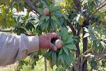 हमीरपुर: परषोत्तम की 15 साल की मेहनत लाई रंग, अब चीकू के पौधे देने लगे फल