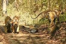 Photos: इस नजारे को मिस न करें, कभी-कभी ही देखने को मिलती है बाघों की ऐसी मस्ती