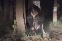 पीलीभीत टाइगर रिजर्व के जंगल में रात को 'डांस' करता दिखा भालू, Viral Video