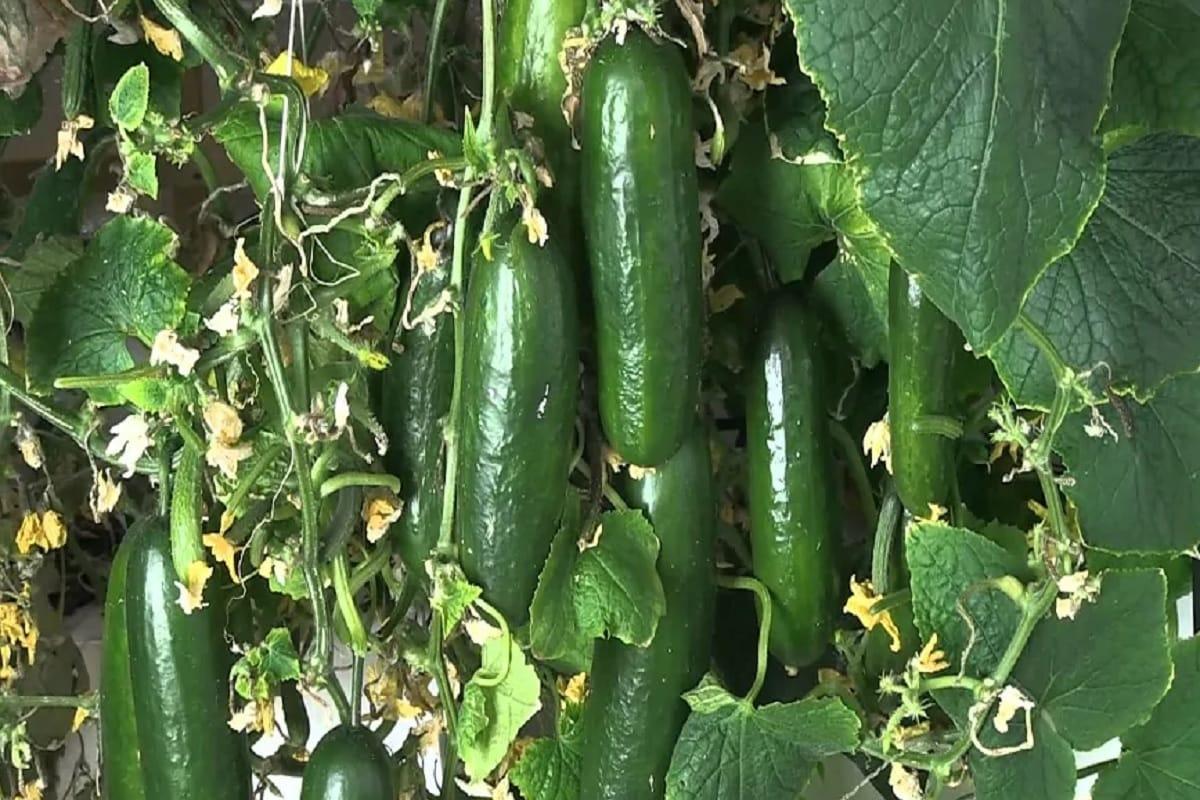 Gardening Tips: खीरे की बेल उगाने के लिए इसके बीजों को सही समय पर रोपना जरूरी है. इसके लिए गर्मियों की शुरुआत (Early Summer) में ही इसे उगाना अच्छा रहता है. वहीं इसे उगाने के लिए ज्यादा चीजों की जरूरत नहीं पड़ती. इसके लिए खीरे के बीज, उचित आकार का गमला, प्राकृतिक खाद, पानी और मिट्टी की जरूरत होती है. कुछ टिप्स की मदद से खीरा घर में उगाना आसान है-