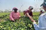 Video: चुनाव से पहले मिशन असम पर प्रियंका गांधी, तोड़ी चाय की पत्तियां
