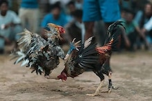 पलक झपकते ही एक दूसरे पर टूट पड़ते हैं ये मुर्गे, पटना में लगता है सट्टा