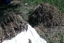 झांसी: किसान ने गेहूं की खेती के साथ उगाई अफीम की फसल, छापा पड़ा तो हुआ फरार