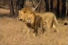 शेर और चीते के बीच में हुई जबरदस्त लड़ाई, Video देखें किसकी हुई जीत