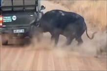 शेरों से बचने के लिए भैंस ने कार पर कर दिया हमला, Video देखें फिर क्या हुआ