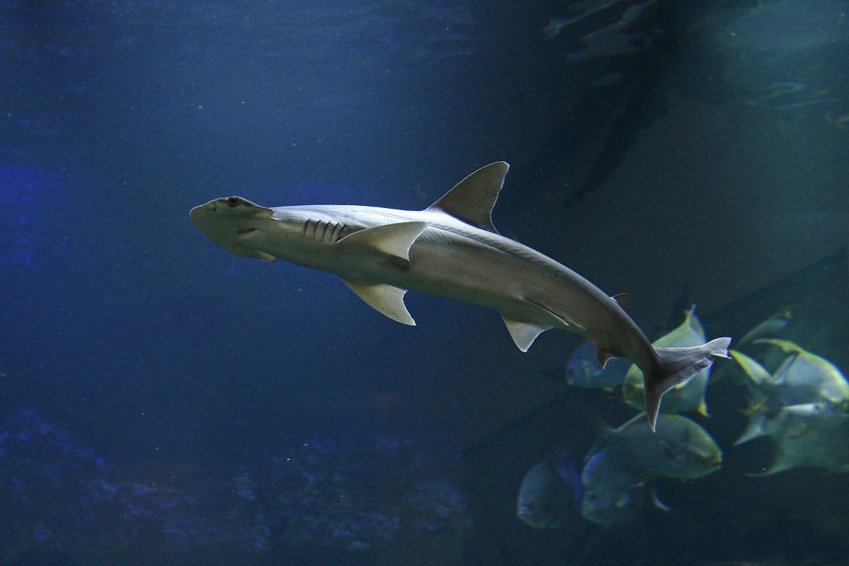 Environment, Oceans, Marine Life, Shark, Magnetic Field, Navigation, Bonnet headed sharks,