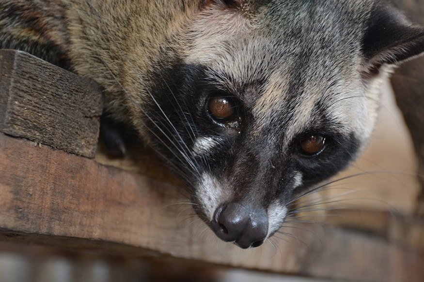 Most Expensive Coffee Civet