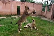 इटावा लायन सफारी में शेरनी गौरी और जेनिफर का एक महीने चलेगा पोस्ट कोविड इलाज
