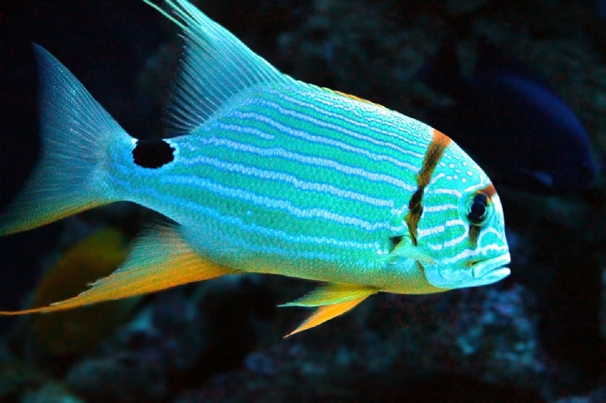 large yellow croaker expensive fish