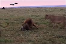 शेर करने लगे लकड़बग्घा पर हमला, Video में देखें जानवर ने कैसे बचाई जान