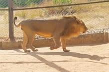 राजस्थान: जयपुर की नाहरगढ़ लॉयन सफारी का 'लॉयन' त्रिपुर हुआ कोरोना पॉजिटिव