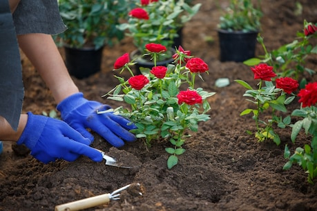 Roses will bloom well only when the plants are fully taken care of.  Image / shutterstock