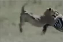 जेब्रा का शिकार करना शेर को पड़ गया भारी, Video देखें ऐसा क्या हुआ