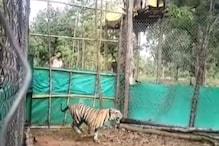बाघिन से मिलने के लिए दहाड़ मारकर बाड़े से कूदा बाघ, ये Video देखना न भूलें