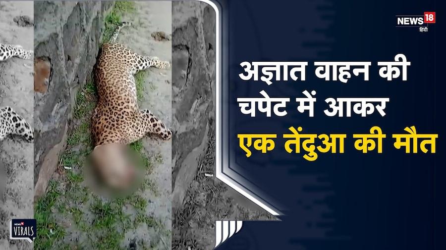 Haryana  | सड़क पार कर रहा था तेंदुआ, वाहन ने मारी टक्कर, मौत | Viral Video