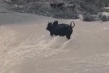 पौड़ी गढ़वाल : बरसाती नदी में बहते सांड को मिला चट्टान का सहारा... See Video