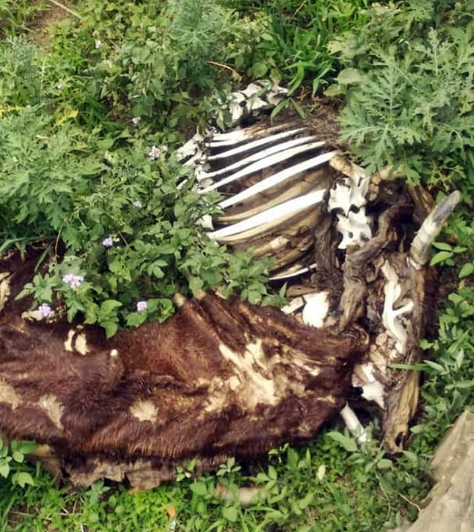 two accused detained in sarkaghat for cow killing in mandi hpvk
