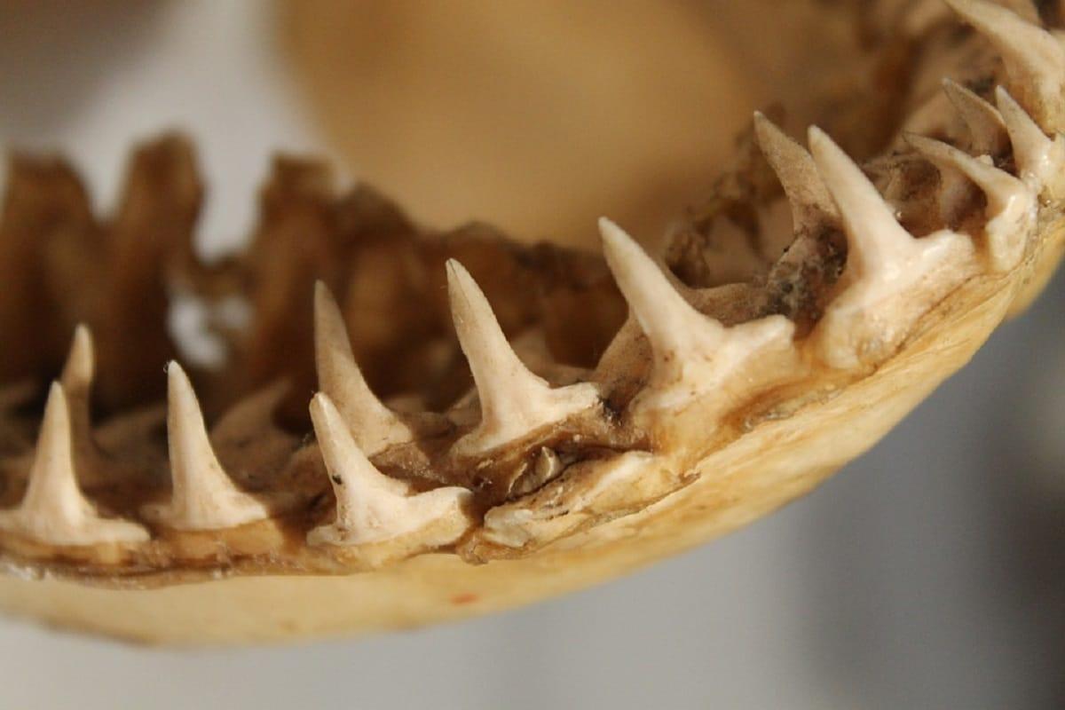 Environment, Palaeontology, Megalodon, Shark, Ancient Shark, Teeth, Size of Megalodon,