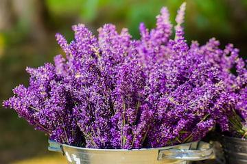 बेहद खूबसूरत नजर आने वाला लैवेंडर का पौधा मच्छरों को भी भगाएगा. Image/shutterstock