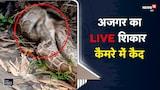 OMG | Python बना रहा था बिल्ली को अपना निवाला गांव वालों ने कैमरे में किया कैद | Viral Video