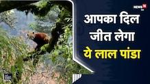 Sikkim | India-China Border के गाँव Dzuluk में दिखा लुप्तप्राय Red Panda | Viral Video