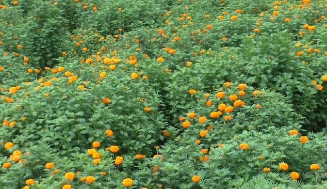 हापुड़: सावन में भोलेनाथ को मनाने के लिए रजनीगंधा और गेंदा के फूलों की मांग