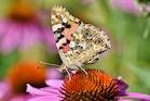 सहारा रेगिस्तान पार कर यूरोप तक प्रवासन करती है तितली की यह प्रजाति