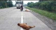 छत्तीसगढ़: नेशनल हाइवे पर भारी वाहन ने एक दर्जन मवेशियों को रौंदा, दर्दनाक मौत