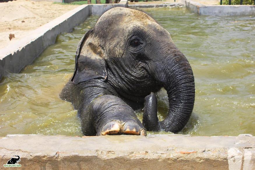 Elephant, bath treatment, hydrotherapy, swimming pool, mathura, agra, wildlife SOS, rescue center, bear center, हाथी, स्नान उपचार, जल चिकित्सा, स्विमिंग पूल, मथुरा, आगरा, वन्यजीव एसओएस, बचाव केंद्र, भालू केंद्र