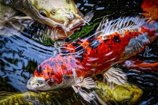 Class of Education के नाम से चल रहे इस प्रोग्राम में बच्चों को 8 महीने तक पालनी होती हैं मछलियां. (Credit-Pixabay)