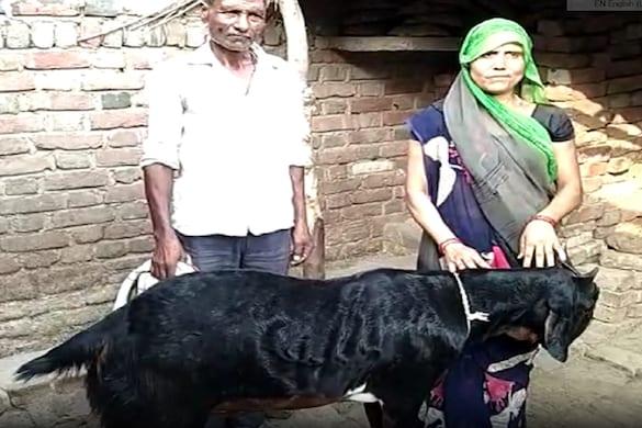 उत्तर प्रदेश के फिरोजाबाद में एक शख्स को उसके बकरे ने रातोंरात लखपति बना दिया
