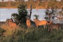 पांच शेरों से अकेला ही भिड़ गया मगरमच्छ, Video देखें कौन जीता और किसे मिली मात