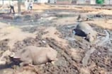 पंजाब: बेजुबानों पर निकाली रंजिश, पराली में जहर देकर सात भैसों को मार डाला