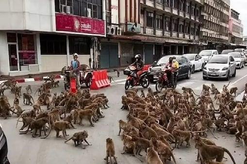 मध्य थाईलैंड के लोपबुरी शहर (Lopburi City) में बंदरों की ये भिड़ंत हुई. (वीडियो ग्रैब).