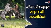 MP   Black और White Tiger की अठखेलियां कैमरे में कैद   Indore   Viral Video