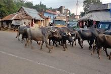 कांगड़ा में पालतू पशुओं में फैली मुहंखूर बीमारी, अब तक कुल 386 मामले आए सामने