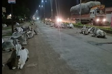 PHOTOS :  1 गौ अभयारण्य और 16 गौ शालाएं, फिर भी कृष्ण की प्यारी गाय सड़क पर भटक रही है