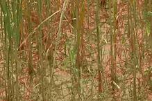 बारिश की बेरुखी: फसलें तबाह, किसान बेबस, राम रूठा अब राज से है उम्मीद