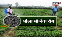 Annadata | कैसे करें मटर की खेती ,कम लागत लगाएं और अच्छा मुनाफा कमाएं | News18 Rajasthan