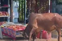 Mungeli: डंडा देख बिगड़ा सांड, बीच बाजार मचाया उत्पात, देखें- खौफनाक Video